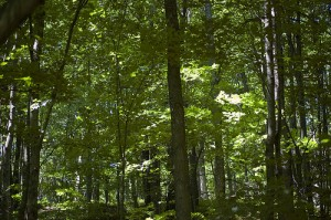 Beech Maple forest