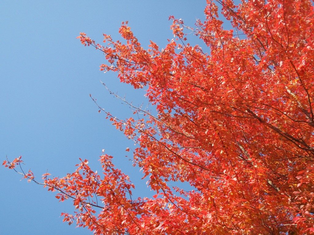 Maple leaves against blue sky